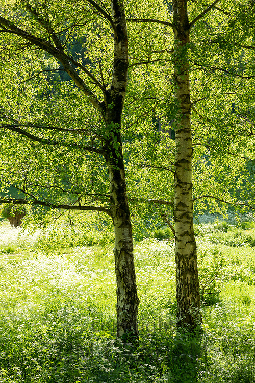 Sunlight through a pair of Silver Birch trees, Betula pendula, and cow parsley at Swinbrook in The Cotswolds in Oxfordshire, UK