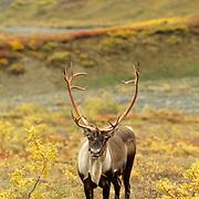 Barren Ground Caribou, (Rangifer arcticus) Bull in fall colored tundra. Alaska.