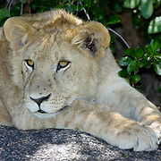 African Lion (Panthera leo) Young resting in shade. Serengeti National Park. Tanzania. Africa. February.