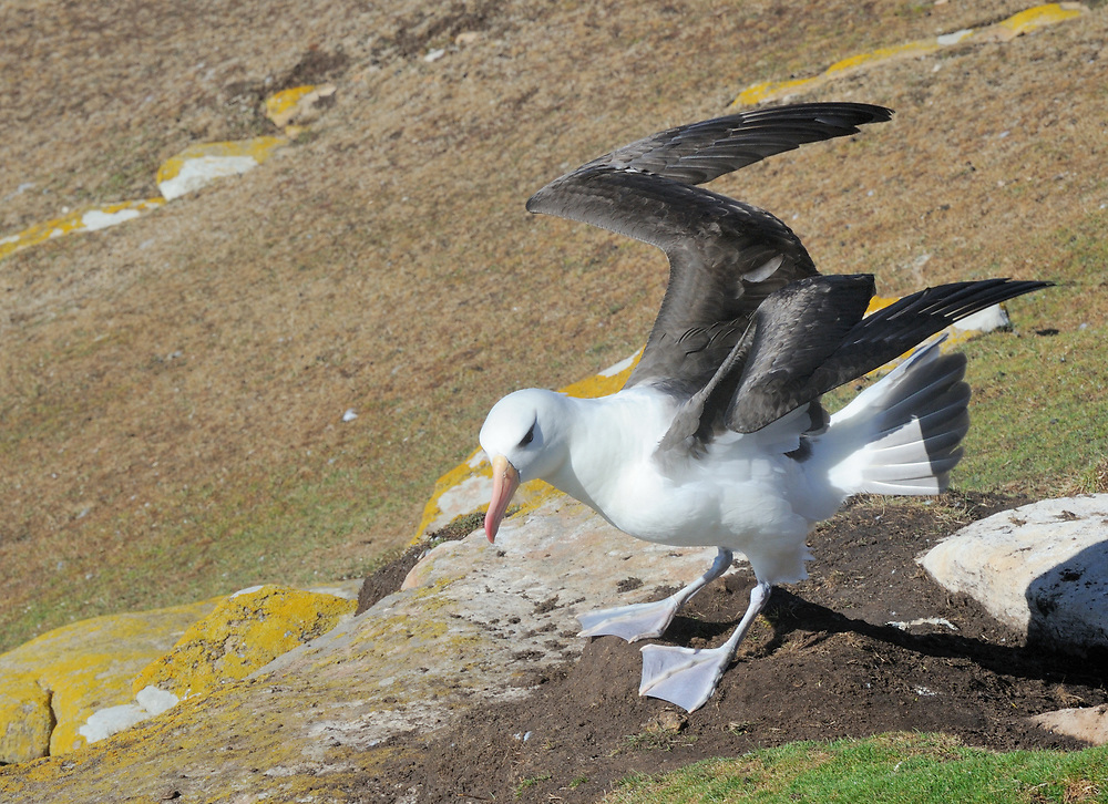 A black-browed albatross (Thalassarche melanophris) takes off from its nest site by opening its wings and facing into the constant wind.  Saunders Island, Falkland Islands.