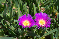 """This South African native succulent perennial with its very attractive bright pink and/or yellow flowers has found its way to both California and Florida thanks to the ornamental plant industry and has particularly found a foothold along Southern California highways, earning it the nickname """"highway ice plant."""" Originally used as a soil stabilizer due to its matting, ground-cover nature it has unexpectedly spread into several sensitive ecological habitats such as coastal communities and desert dune habitats where it quickly outgrows and outcompetes threatened and endangered plants. This one was found growing in a sprawling mat across the sandy beach in Los Angeles, California next to the Del Rey Lagoon."""