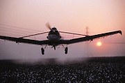 Crop dusting. Spraying cotton prior to harvest with defoliant (Paraquat) in Kern County, California, USA.