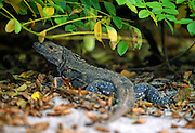 """Spiny lizard on beach - Coiba Island, Panama. The former penal colony is now  a """"permit only"""" area to visit and explore. In 2005 it became a UNESCO World Heritage Site due to its remarkable proliferance of rare corals and abundance of marine life."""