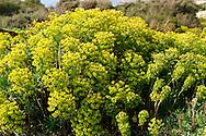 Euphorbia helioscopia,  Sun Spurge, growing wild on the Island  Rab, Craotia