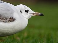 Black-headed Gull - Chroicocephalus ridibundus - winter adult