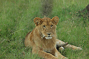 Kenya, Masai Mara, Lioness