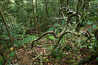 Rain forest interior view with lianas.<br />