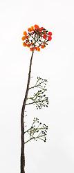 Royal Poinciana Tree Delonix Regia #29vert