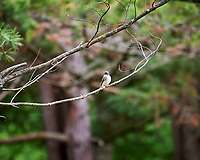 Eastern Phoebe. Image taken with a Nikon Df camera and 70-200 mm f/2.8 lens  (ISO 900, 600 mm, f/2.8, 1/800 sec).