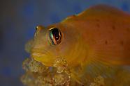 Notoclinops yaldwyni (Yaldwyn's triplefin)