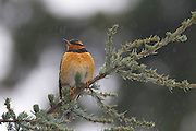 A male varied thrush (Ixoreus naevius) rests on a branch as light rain falls in Snohomish County, Washington. Varied thrushes are found in western North America from Alaska to northern California.