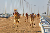 traditional camel dromadery race of Ash-Shahaniyah in Qatar with robots instead of jockey