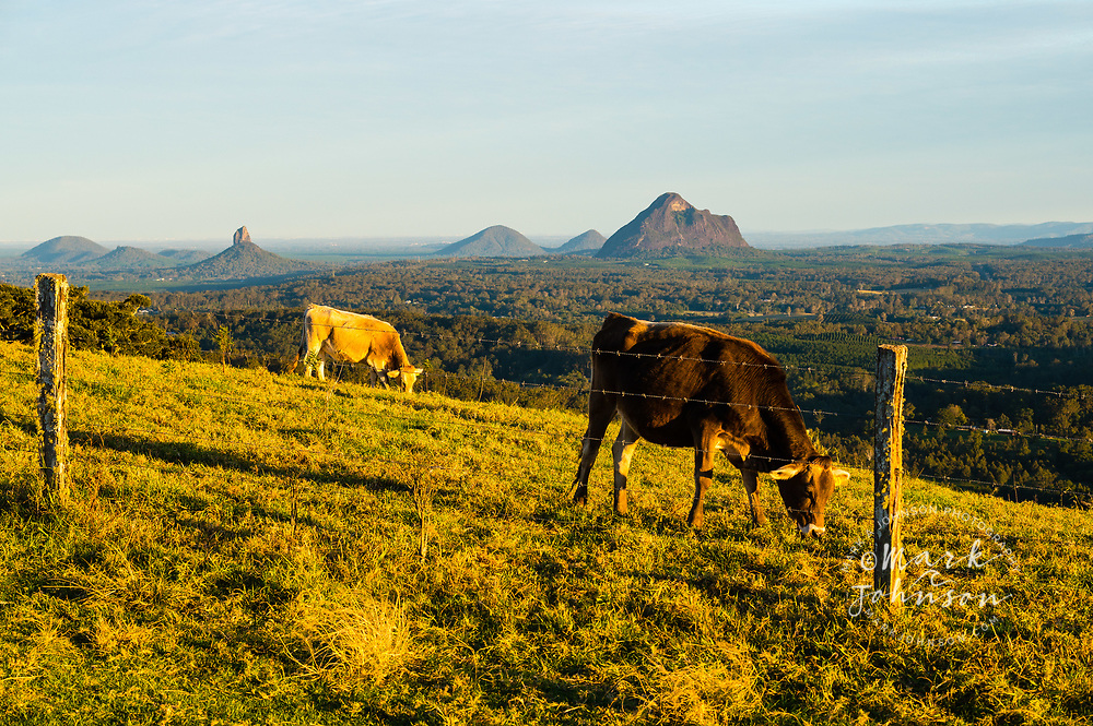 Cows grazing, Maleny, Glass House Mountains in distance, Sunshine Coast Hinterland, Queensland, Australia