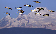 Snow geese from a flock on Fir Island fly past Mt. Baker in the distance. Each year about 60,000 - 100,000 Snow geese migrate from Wrangel Island in Russia to the estuaries of the Fraser and Skagit rivers. During the 3,000-mile journey, they may reach altitudes near 3,000 feet and speeds approaching 50 miles per hour. The sound of a flock of Snow geese can be heard from a mile away. (Mark Harrison / The Seattle Times)