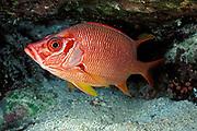 long-jawed or sabre squirrelfish, <br /> Sargocentron spiniferum,<br /> Vava'u, Tonga, South Pacific Ocean