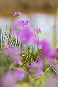 Blooming bird's-eye primrose (Primula farinosa), Kurzeme, Latvia Ⓒ Davis Ulands   davisulands.com
