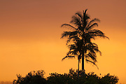 Three coconut palm trees (Cocos nucifera) are rendered in silhouette against a golden sunrise on Kaua`i, Hawai`i.