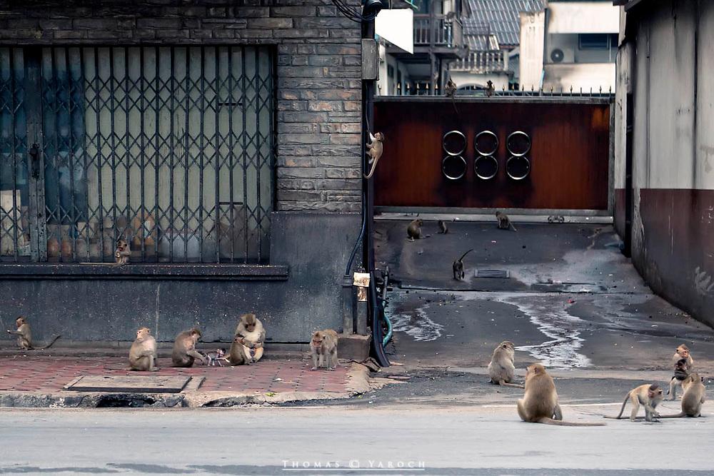 The street monkeys of Lop Buri, Thailand