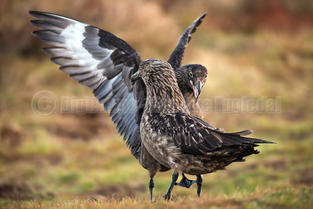 Great Skua courting with eachother   Storjoer som kurtiserer