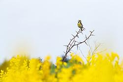 Dickcissel perched above Yellow Wild Indigo (Baptisia sphaerocarpa) wildflowers on the Daphne Prairie, a remnant of the Blackland Prairie, Mount Vernon, Texas, USA.