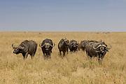 Bull Cape buffalo in East African Habitat