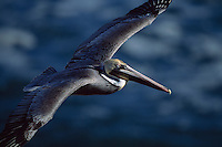 A brown pelican (Pelecanus Occidentalis) with breeding plumage in flight.