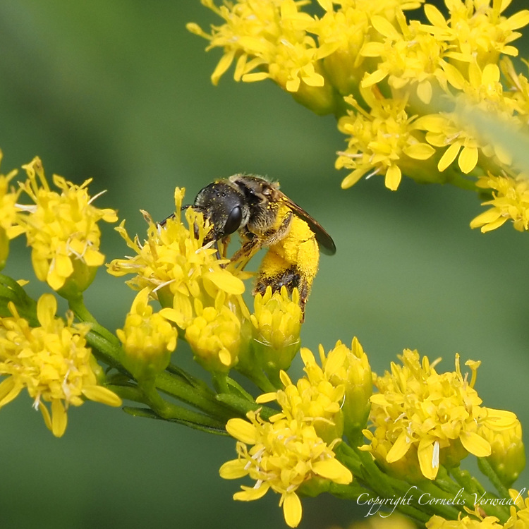 A member of the Furrow Bees, covered in pollen, is really getting into these goldenrods; Central Park, July 4, 2021.