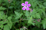 Herb Robert (Geranium robertianum) flower and leaves in a Fraser Valley (British Columbia, Canada) garden.
