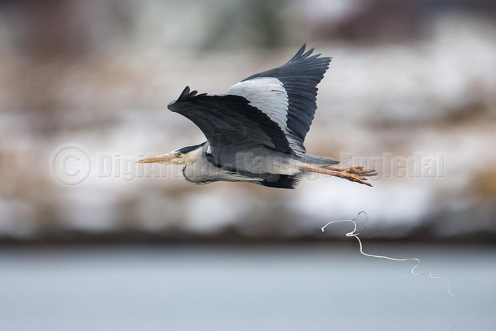 Escaping Gray Heron with a huge fresh shit falling down   Gråhegre i flukt med en stor fersk skit etter seg.