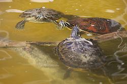 Yellow Bellied Slider Turtles