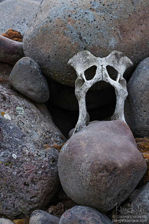 A weathered cattle hip bone rests among the rocks in a pile on a farm in Grant County, Washington.