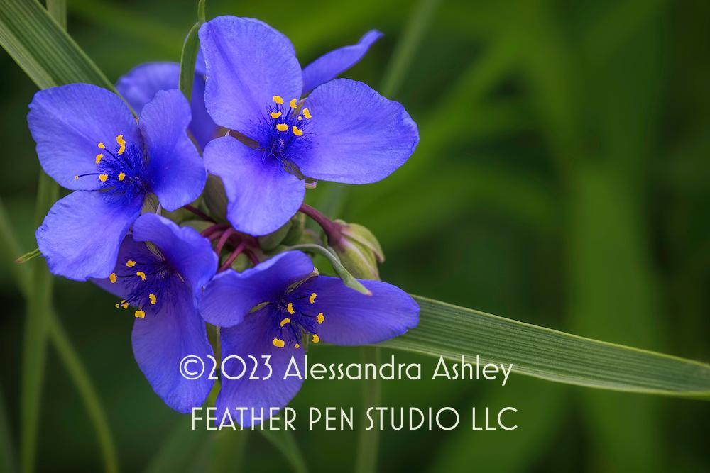 Macro view, spiderwort, also known as spider lily,  a native midwestern prairie wildflower in rich violet blue shades.