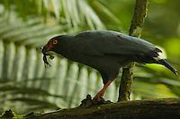 Slate-colored Hawk (Leucopternis schistaceus) eating a frog above Anangu creek, Yasuni National Park, Orellana Province, Ecuador