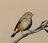 Common Redstart, female - Phoenicurus phoenicurus