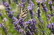 A Western Tiger Swallowtail (Papilio rutulus) foraging for nectar on Lavender flowers in a Fraser Valley garden.  A Western Tiger Swallowtails are one of the common species of butterfly in the southwestern corner of British Columbia, Canada.  The adult Western Tiger Swallowtails are Nectarivores, feeding on nectar from flowers only.  The immature caterpillars feed on plant leaves - mostly cottonwood and birch but including willows and wild cherry.