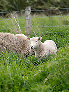 A lamb grazes with its mother (ewe) in tall grass; near Curio Bay, South Island, New Zealand