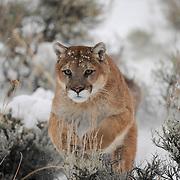 Mountain lion running through sage brush in the Bridger Mountains, Montana. Captive Animal