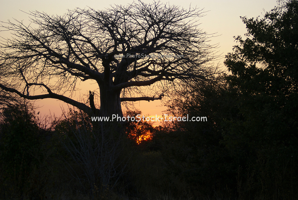 Tanzania wildlife safari Baobab tree at sunset