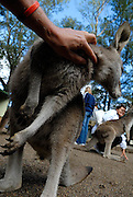 Kangaroo not at all interested in being patted, looking instead for food from tourists. Sydney, Australia