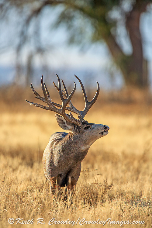 Trophy mule deer buck searches for a doe in estrus using a special organ in the roof of his mouth.