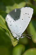 A female Holly Blue butterfly shelters from the midday sun at Durlston, Dorset.