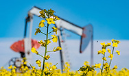 Photo Randy Vanderveen<br /> Grande Prairie, AB<br /> 2020-07-27<br /> A  pump jack is surrounded by the yellow flowers of a canola field in full bloom west of Sexsmith Monday morning. Both oil and gas producers and oilseed and grain producers are hoping to see a rise in the price of their commodities this year to make the industries profitable.