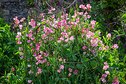 Lathyrus odoratus 'Strawberry Fields'. Sweet peas growing up a birch support in the trials bed at Parham House