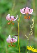 Flowers of Martagon Lilly (Lilium martagon).  Picos de Europa Asturias, Spain. 07Jul2012