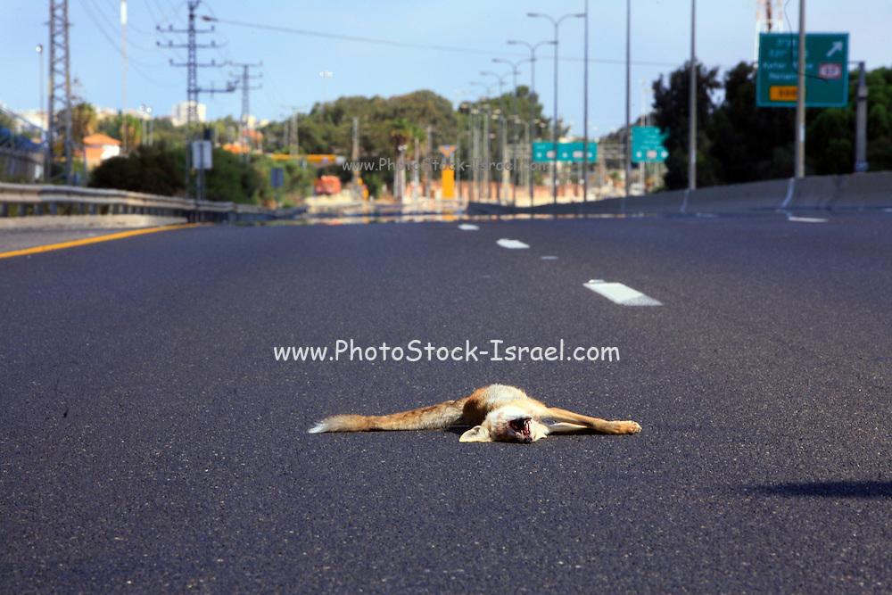 Israel, Roadkill of a Sand Fox Vulpes rueppellii on a moterway