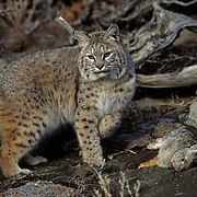 Bobcat (Lynx rufus) with mountian cottontail prey in the Rocky Mountains.  Captive Animal.