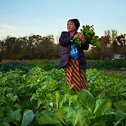 Buramese refugee Hla Kyi harvests Bok Choy at Plowshares in New Haven, Indiana. Plowshares partnered with 14 Buramese refugees so they could farm plots to learn U.S. regulations for farming and provide food to their community. Nathan Lambrecht/Journal Communications