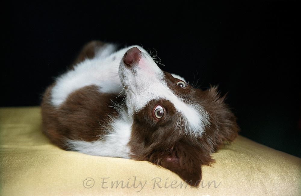Border Collie Puppy upside down