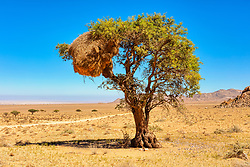 Social Weaver nest in a tree canopy, Aus, Namibia, Africa