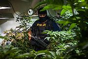 Un policia estatal observa las plantas de marihuana encontradas en un invernadero oculto en el sotano de un rancho en Tecate, México.